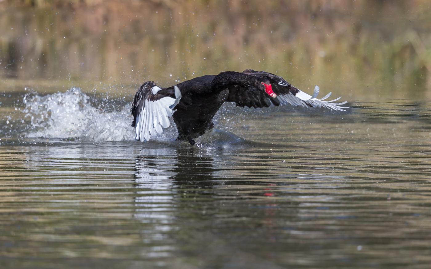 Black Swan (Image ID 32496)