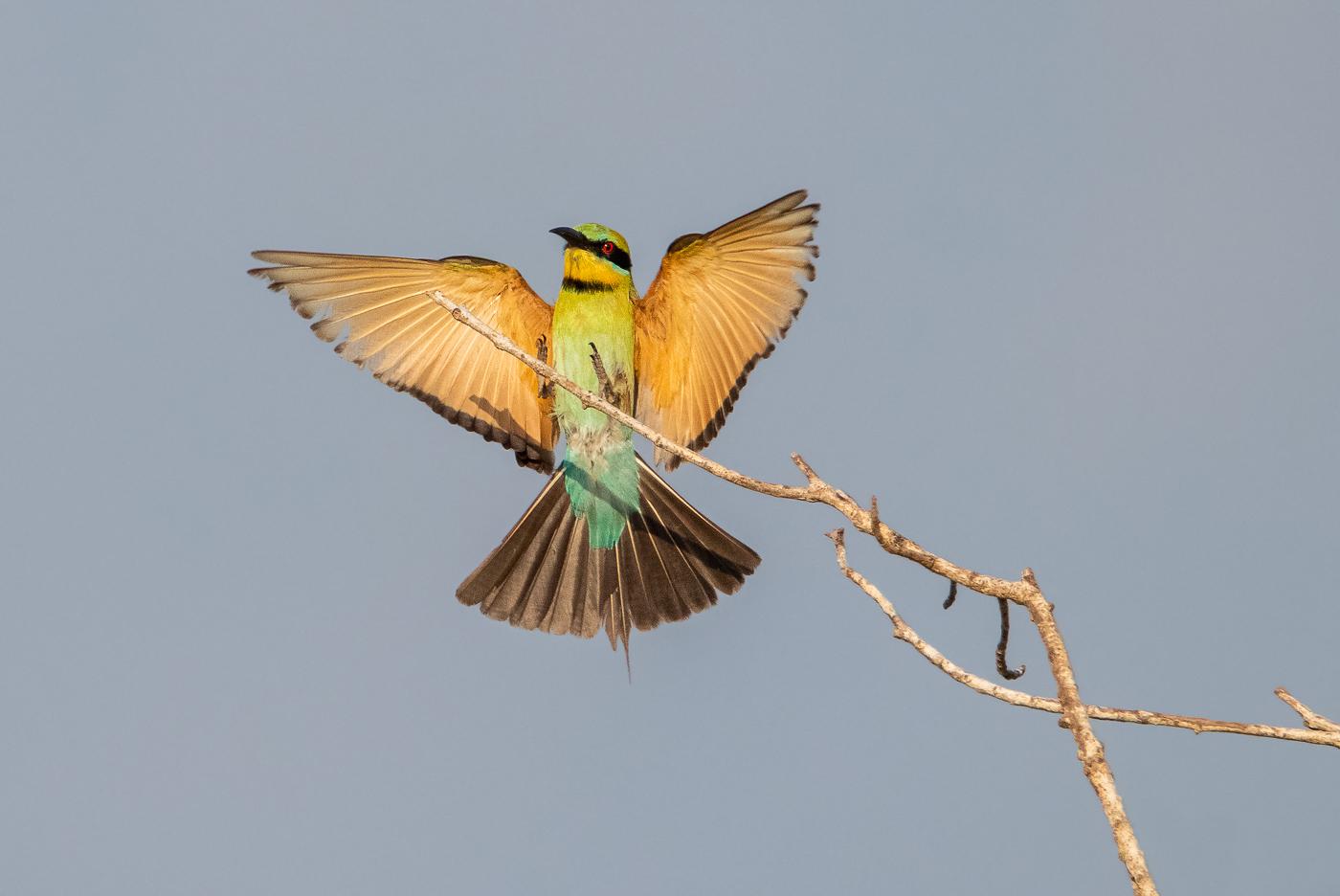 Rainbow Bee-eater (Image ID 32448)