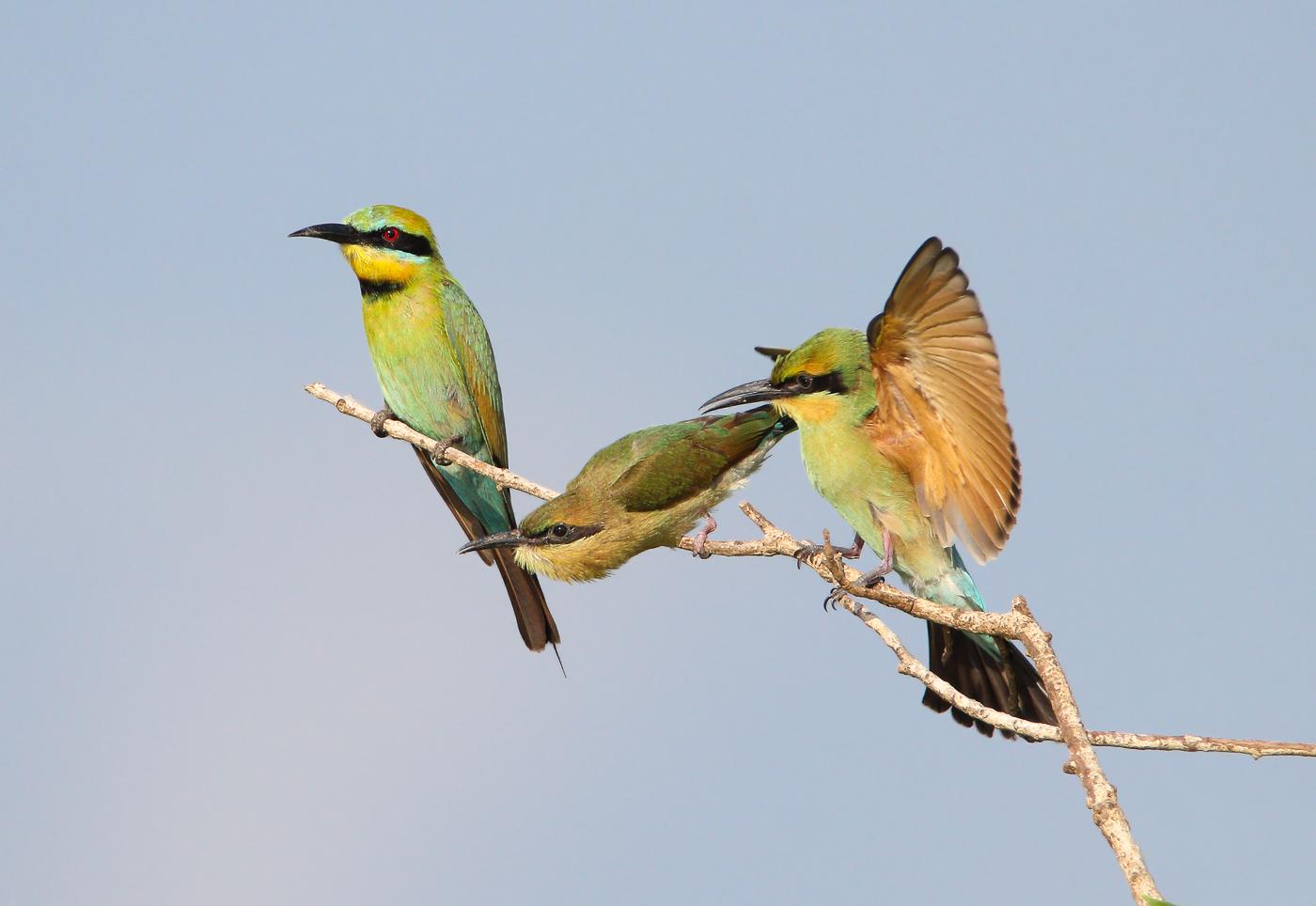 Rainbow Bee-eater (Image ID 32447)