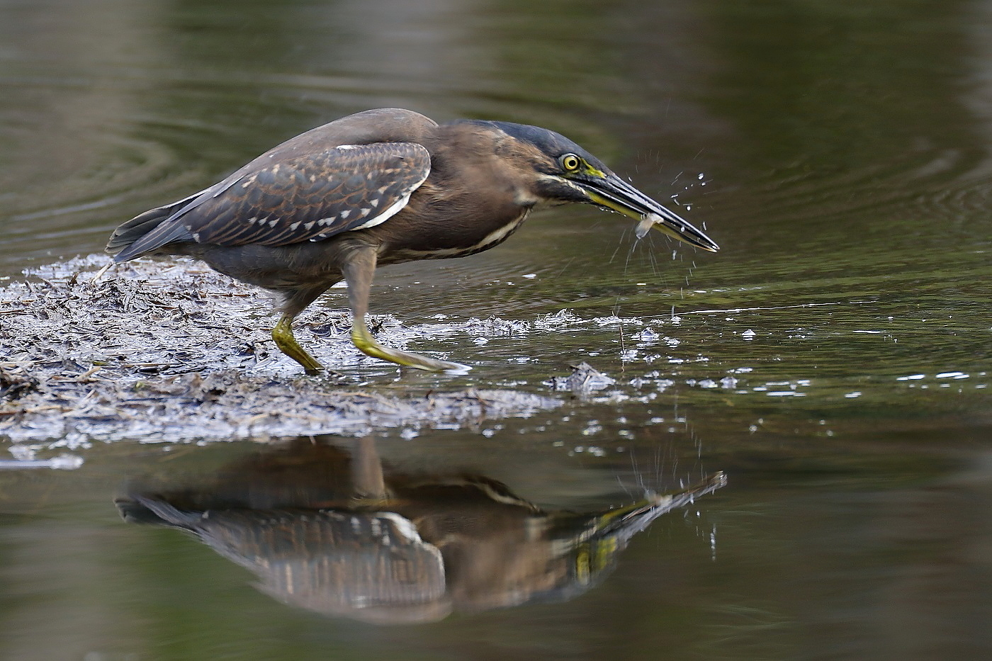 Striated Heron (Image ID 32674)