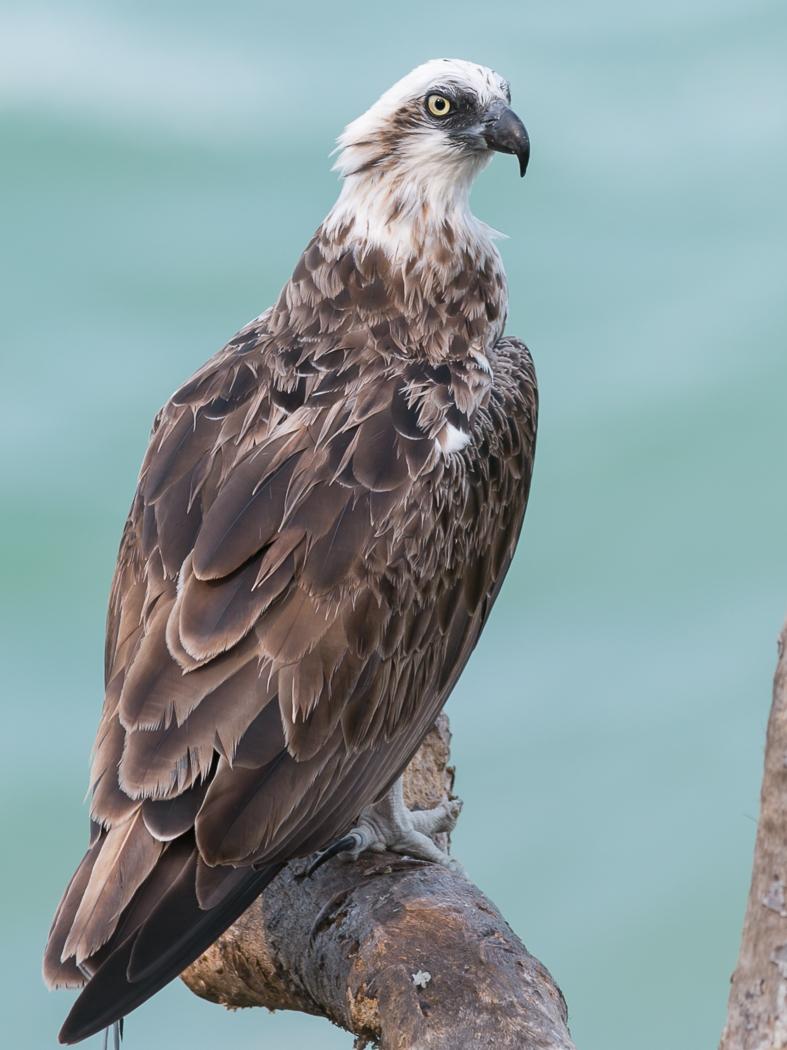Osprey (Image ID 32714)