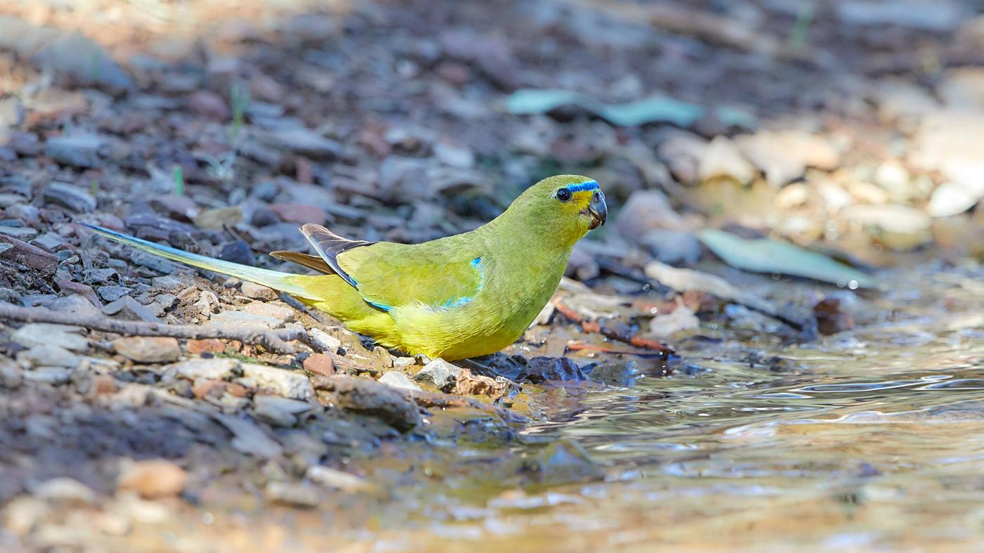 Elegant Parrot (Image ID 32879)