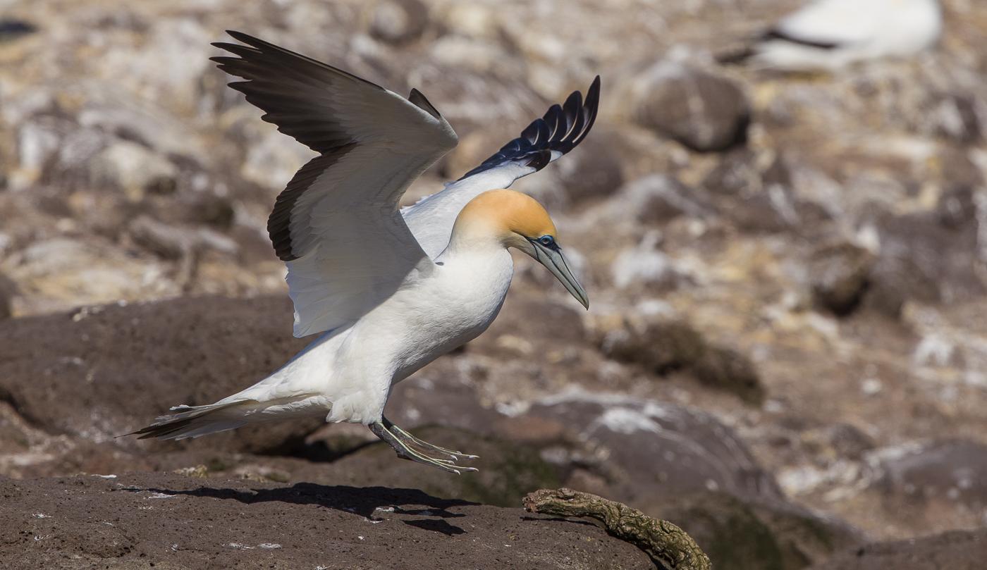 Australasian Gannet (Image ID 32506)