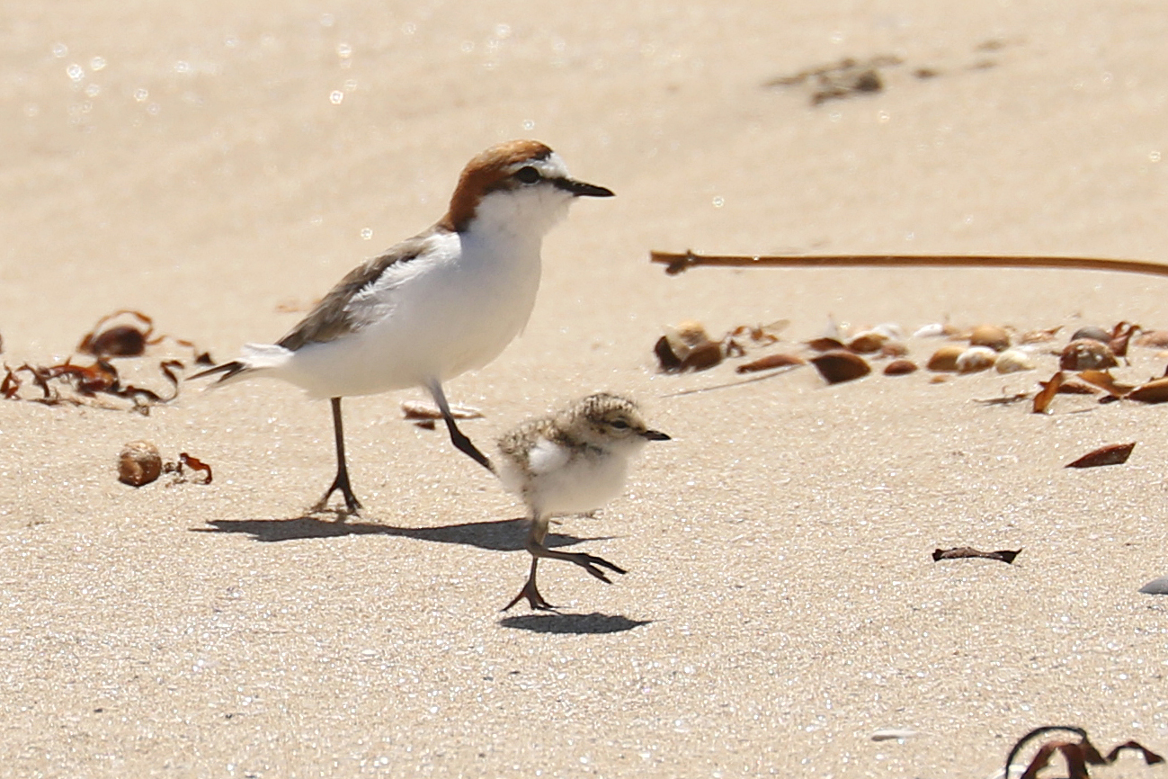 Red-capped Plover (Image ID 32752)