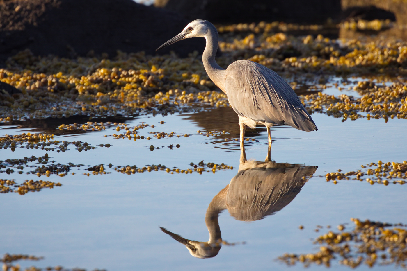 White-faced Heron (Image ID 32816)