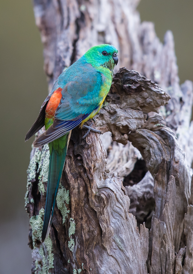 Red-rumped Parrot (Image ID 32523)