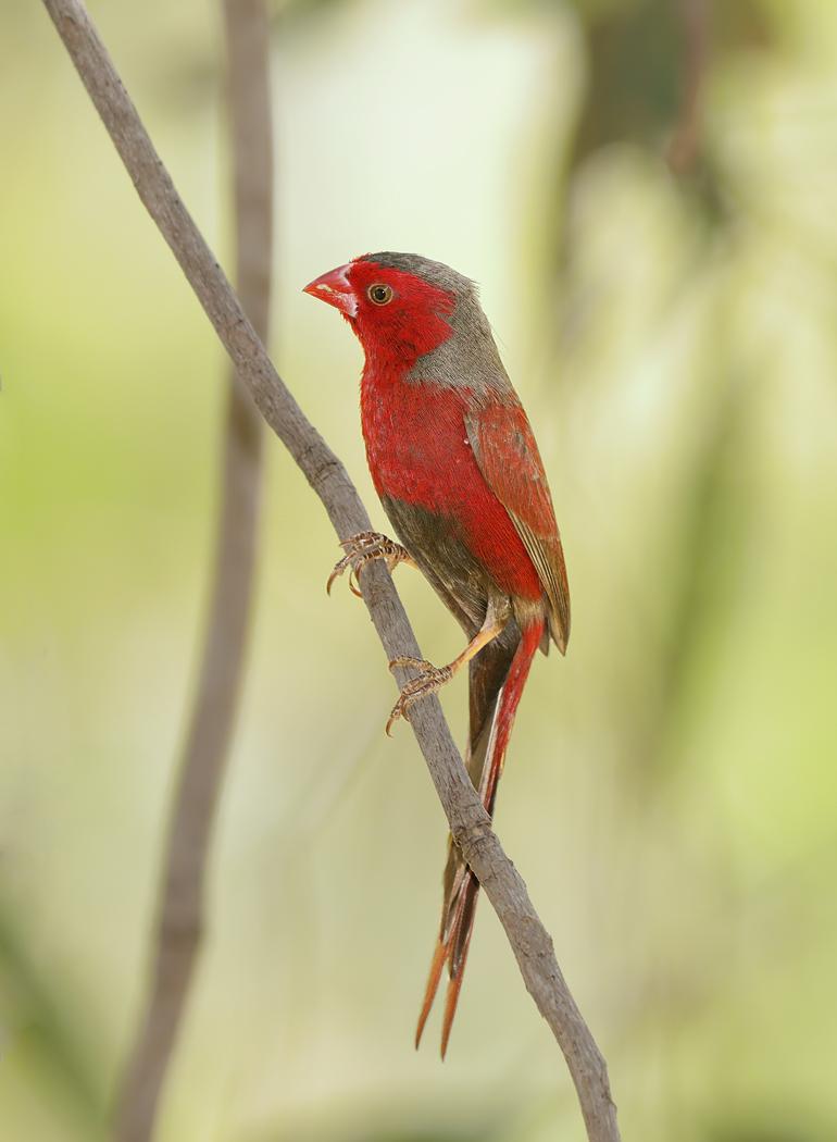 Crimson Finch (Image ID 32453)