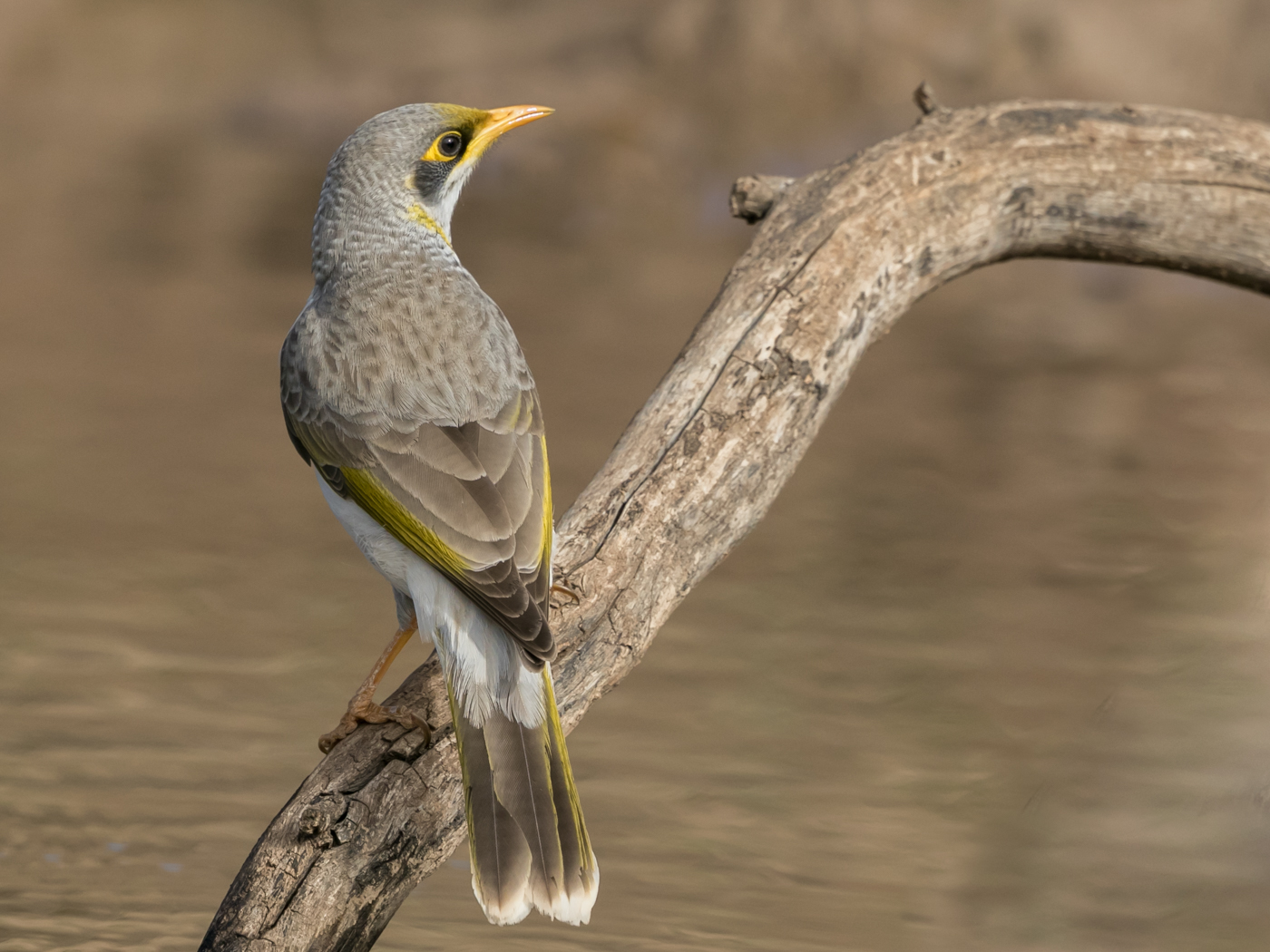 Yellow-throated Miner (Image ID 32478)