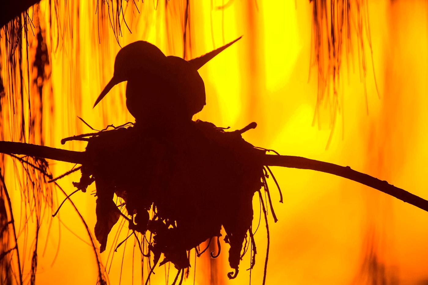 Black Noddy (Image ID 32502)