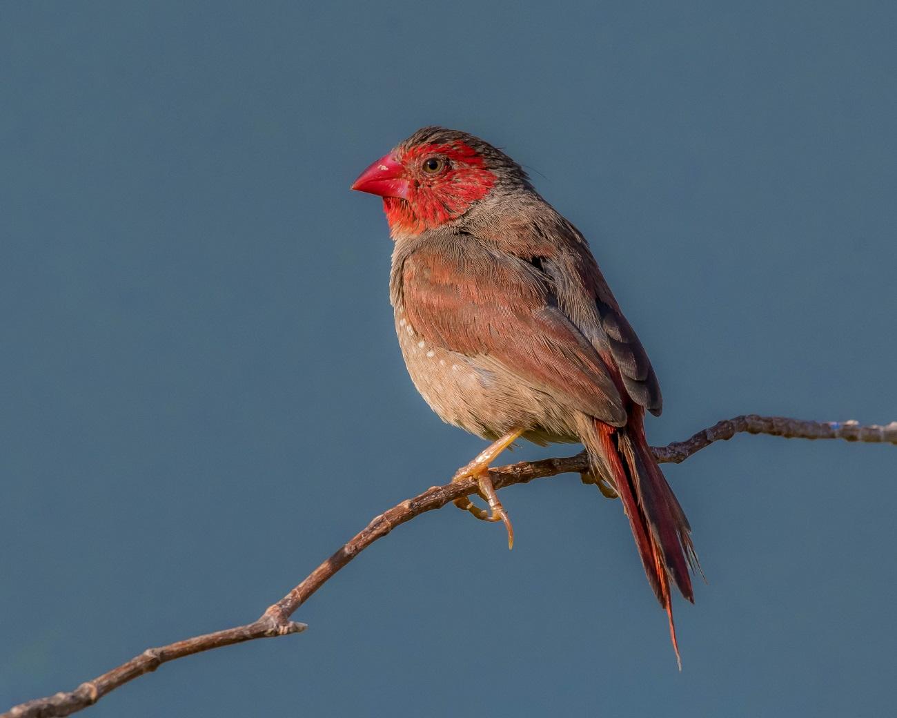 Crimson Finch (Image ID 32545)