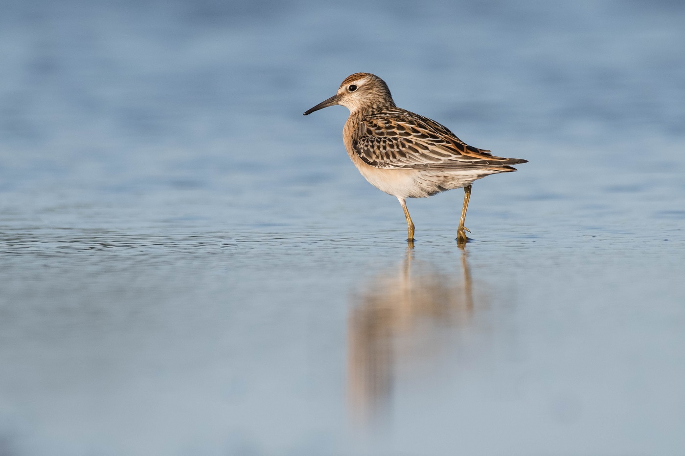 Sharp-tailed Sandpiper (Image ID 32483)