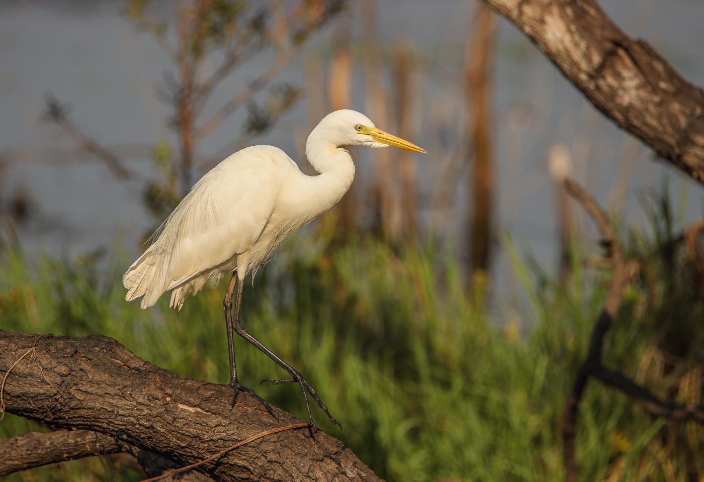 Intermediate Egret (Image ID 32517)