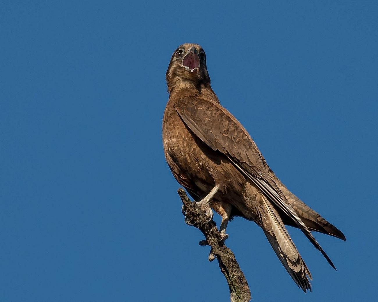 Brown Falcon (Image ID 32548)