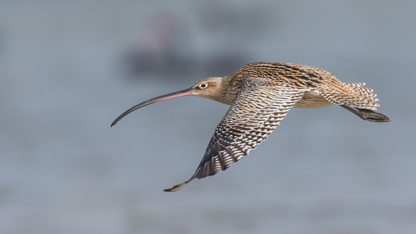 Eastern Curlew (Image ID 32532)