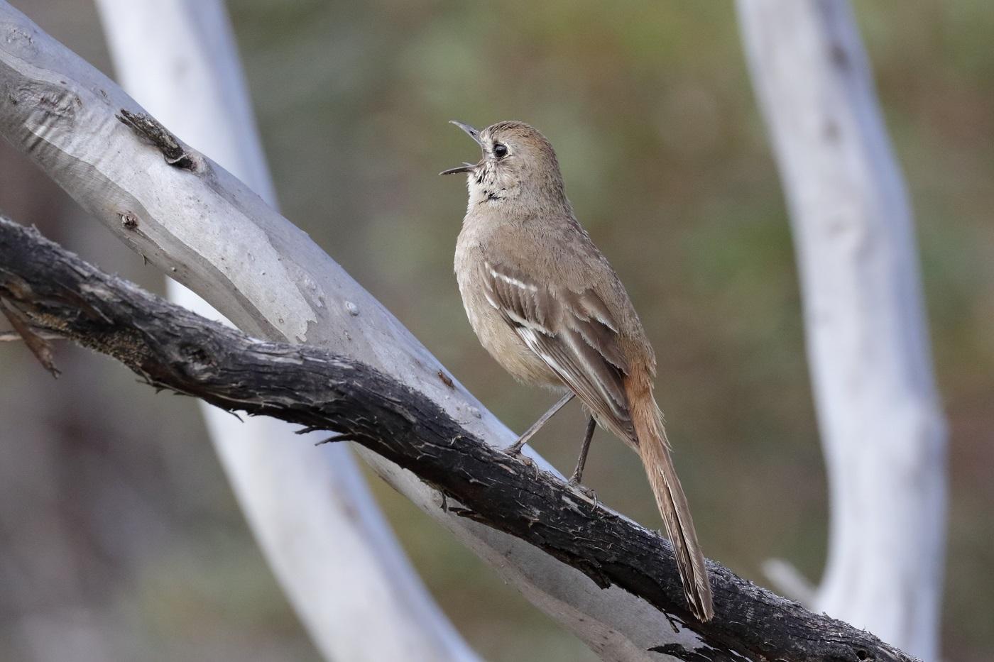 Southern Scrub-robin (Image ID 32645)