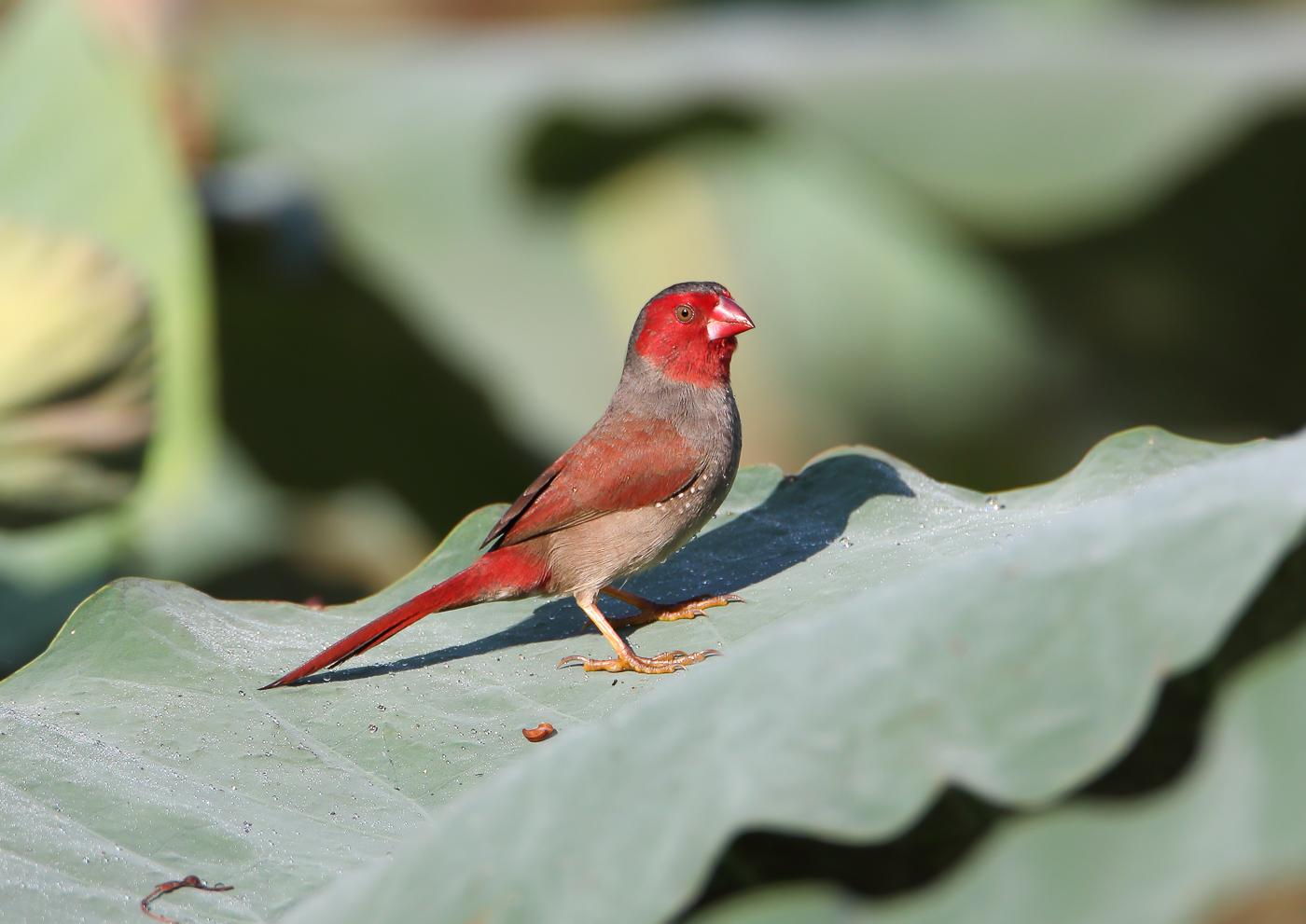 Crimson Finch (Image ID 32741)