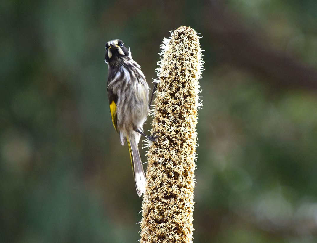 New Holland Honeyeater (Image ID 32601)
