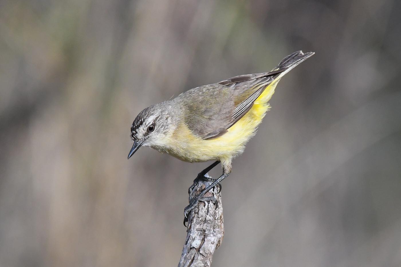 Yellow-rumped Thornbill (Image ID 32494)