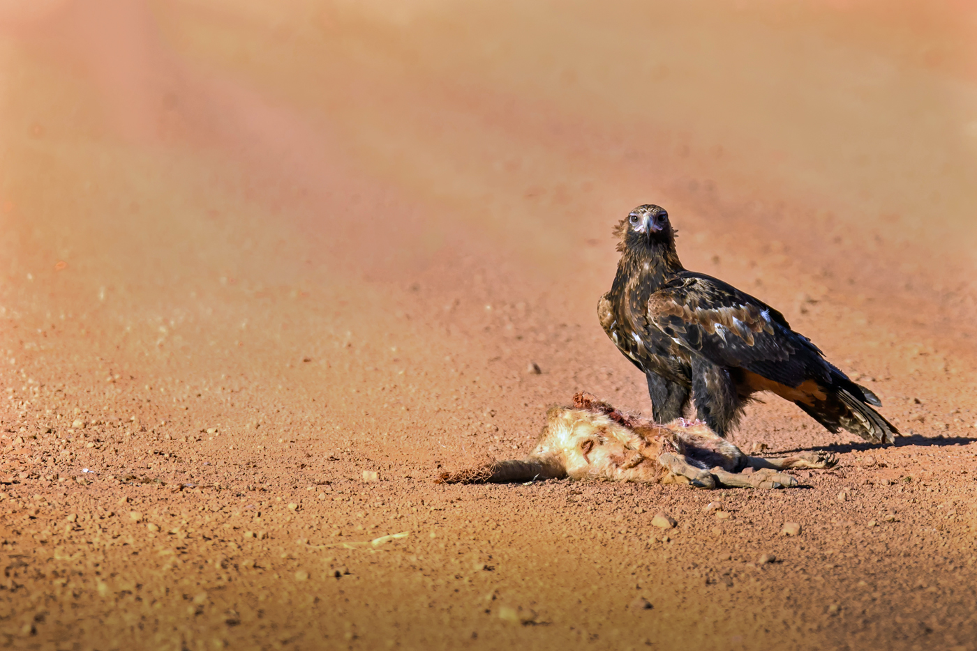 Wedge-tailed Eagle (Image ID 32878)