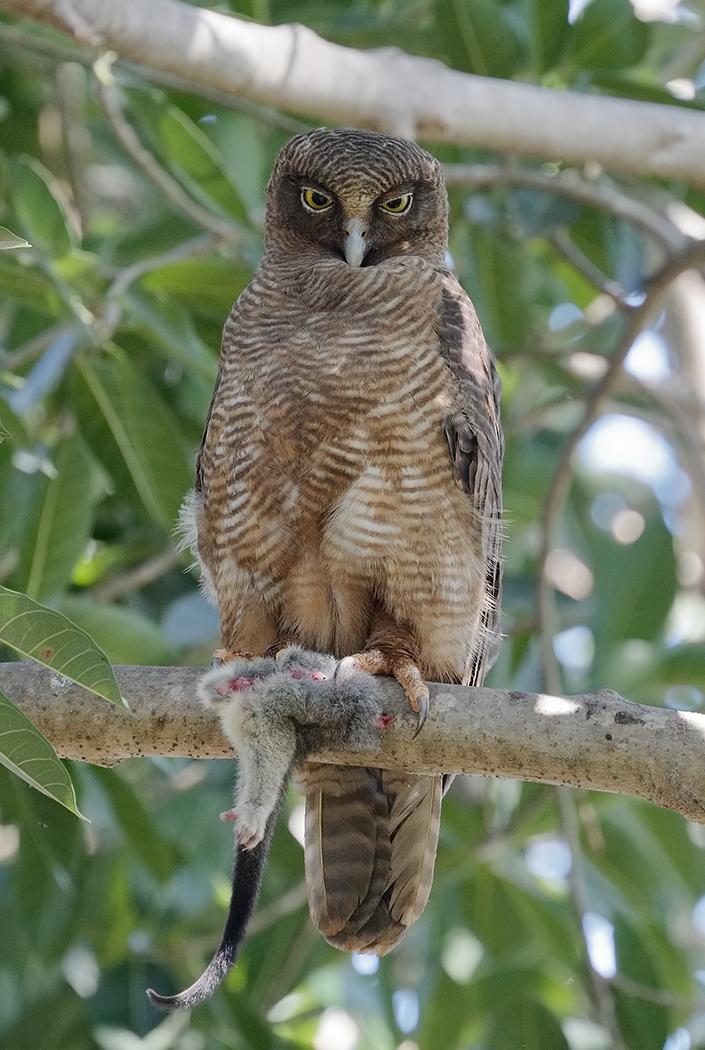 Rufous Owl (Image ID 32754)