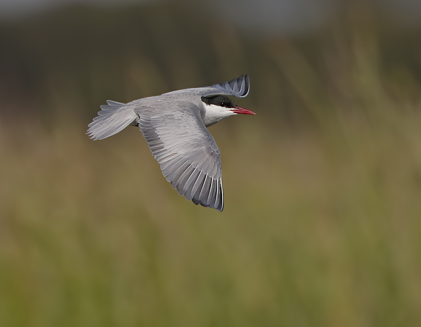 Whiskered Tern (Image ID 32731)