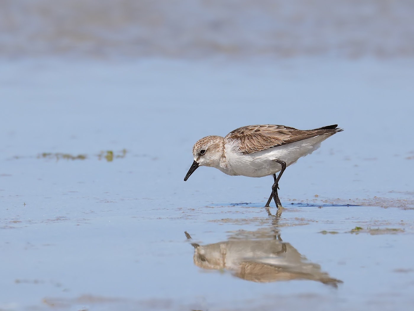 Red-necked Stint (Image ID 32654)