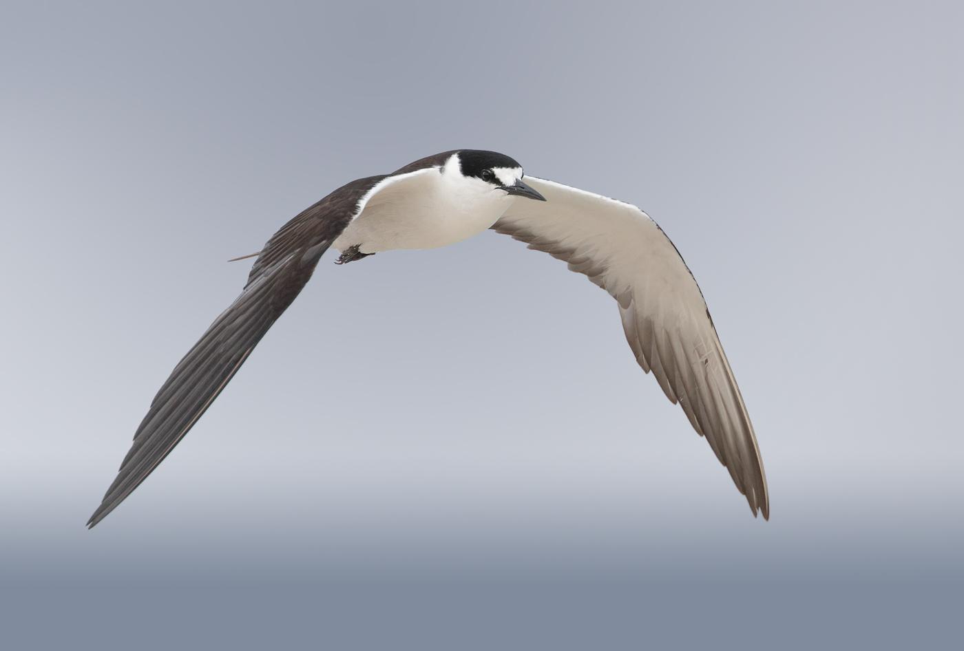 Sooty Tern (Image ID 33252)