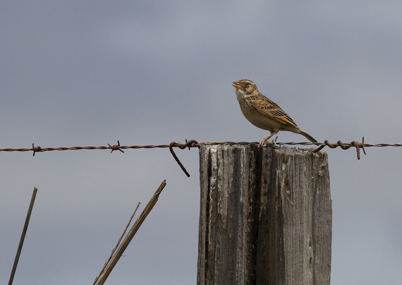 Horsfield's Bushlark (Image ID 33194)