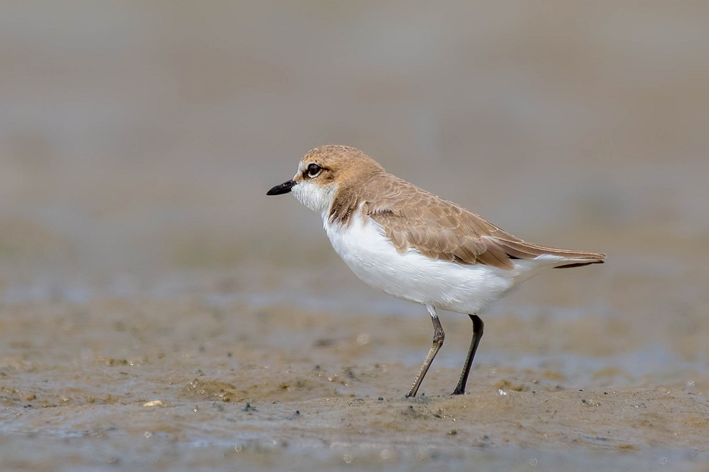 Lesser Sand Plover (Image ID 33197)