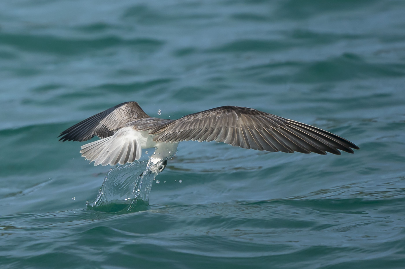 White-winged Black Tern (Image ID 32964)