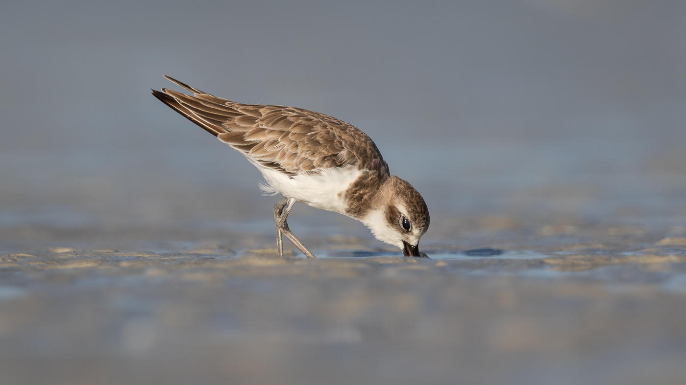 Greater Sand Plover (Image ID 33114)