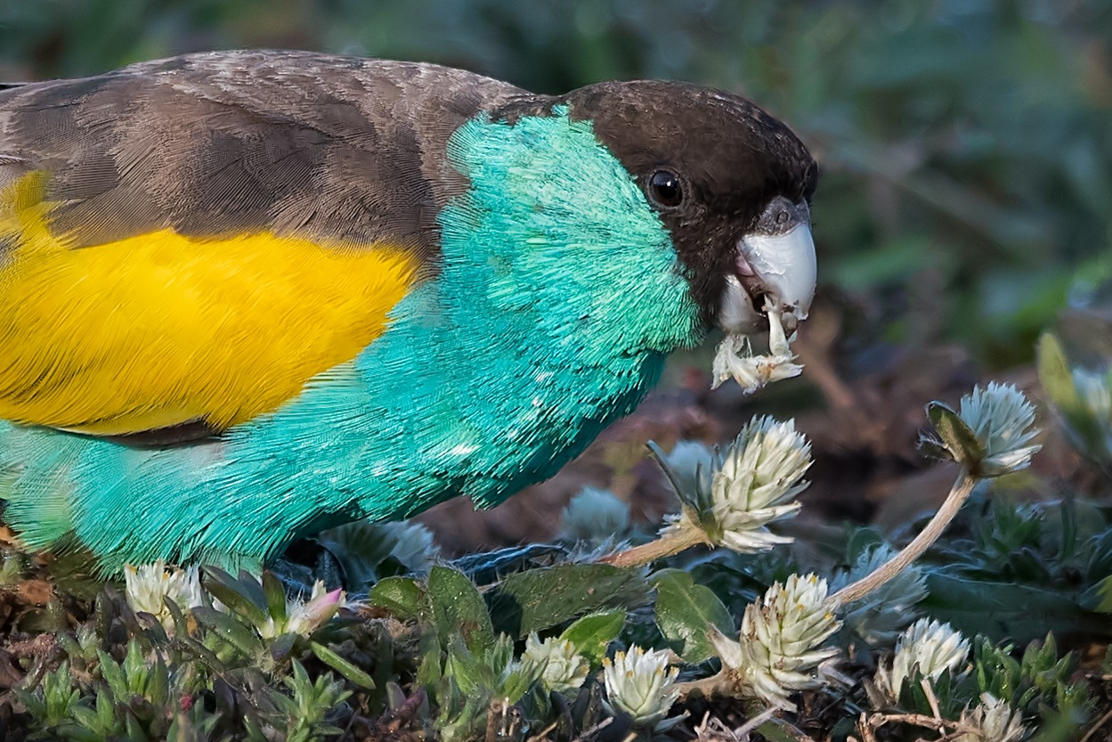 Hooded Parrot (Image ID 33069)