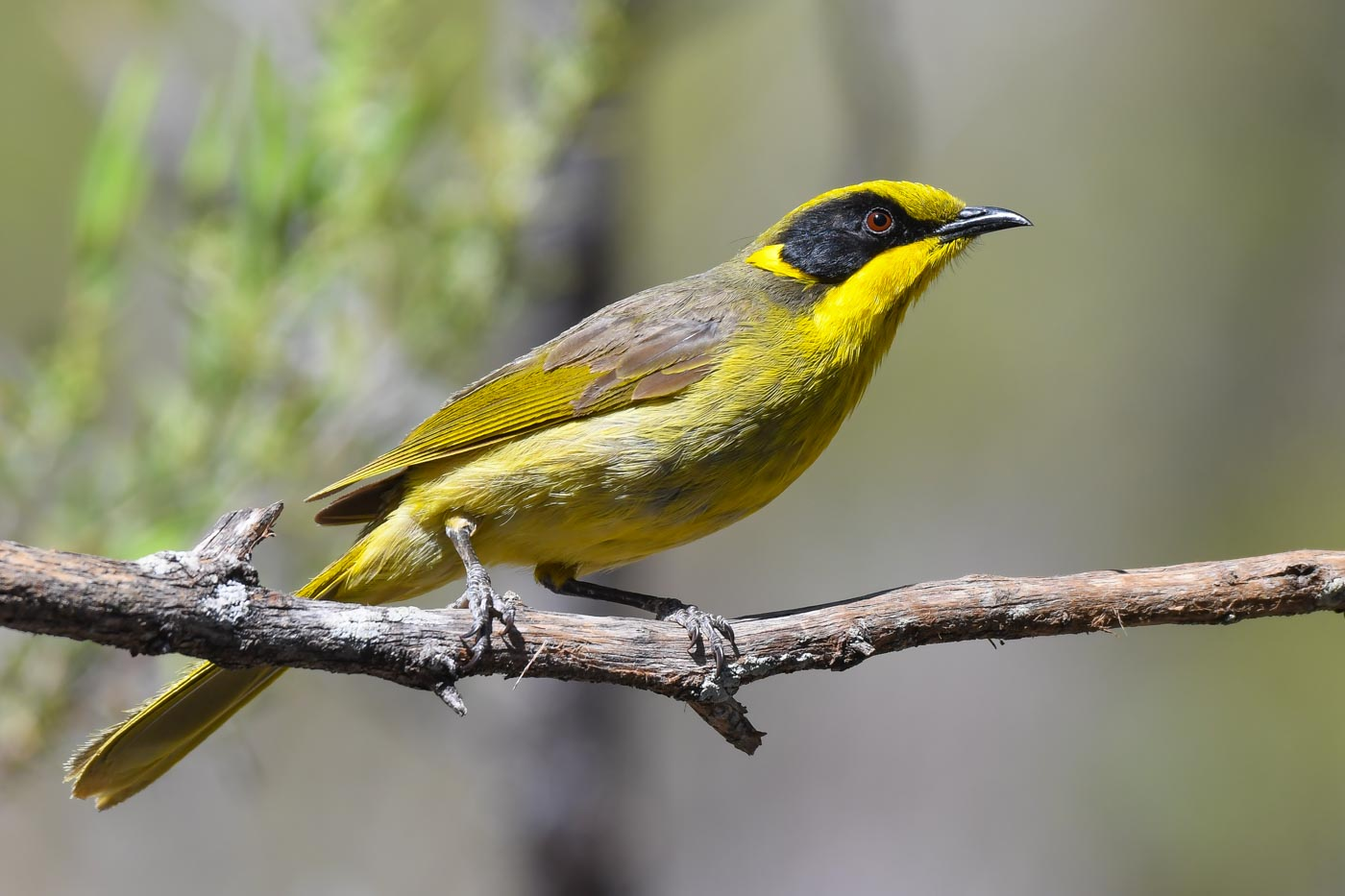 Yellow-tufted Honeyeater (Image ID 33037)