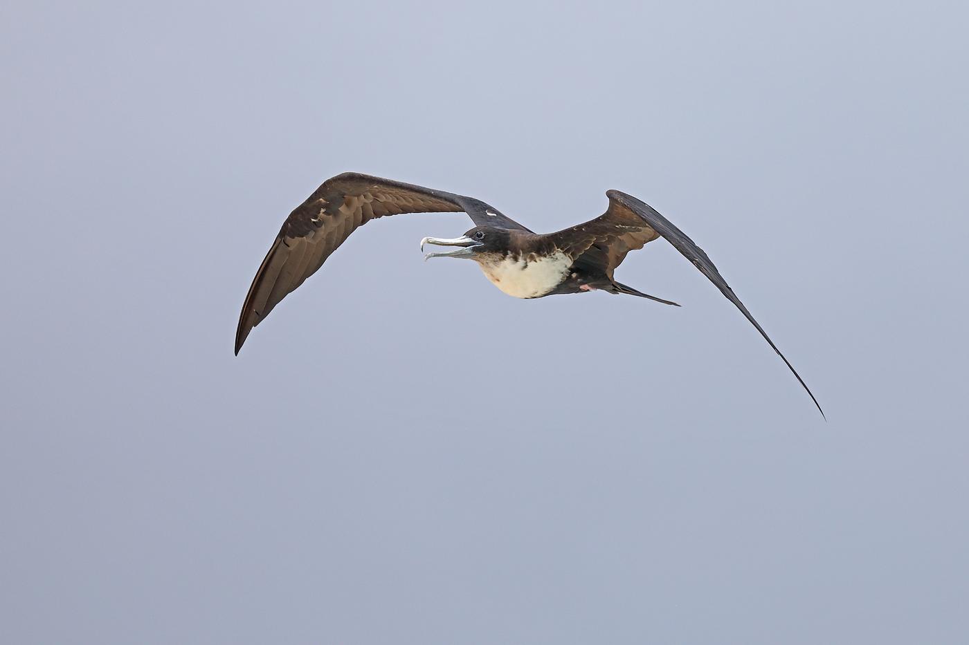 Great Frigatebird (Image ID 33185)