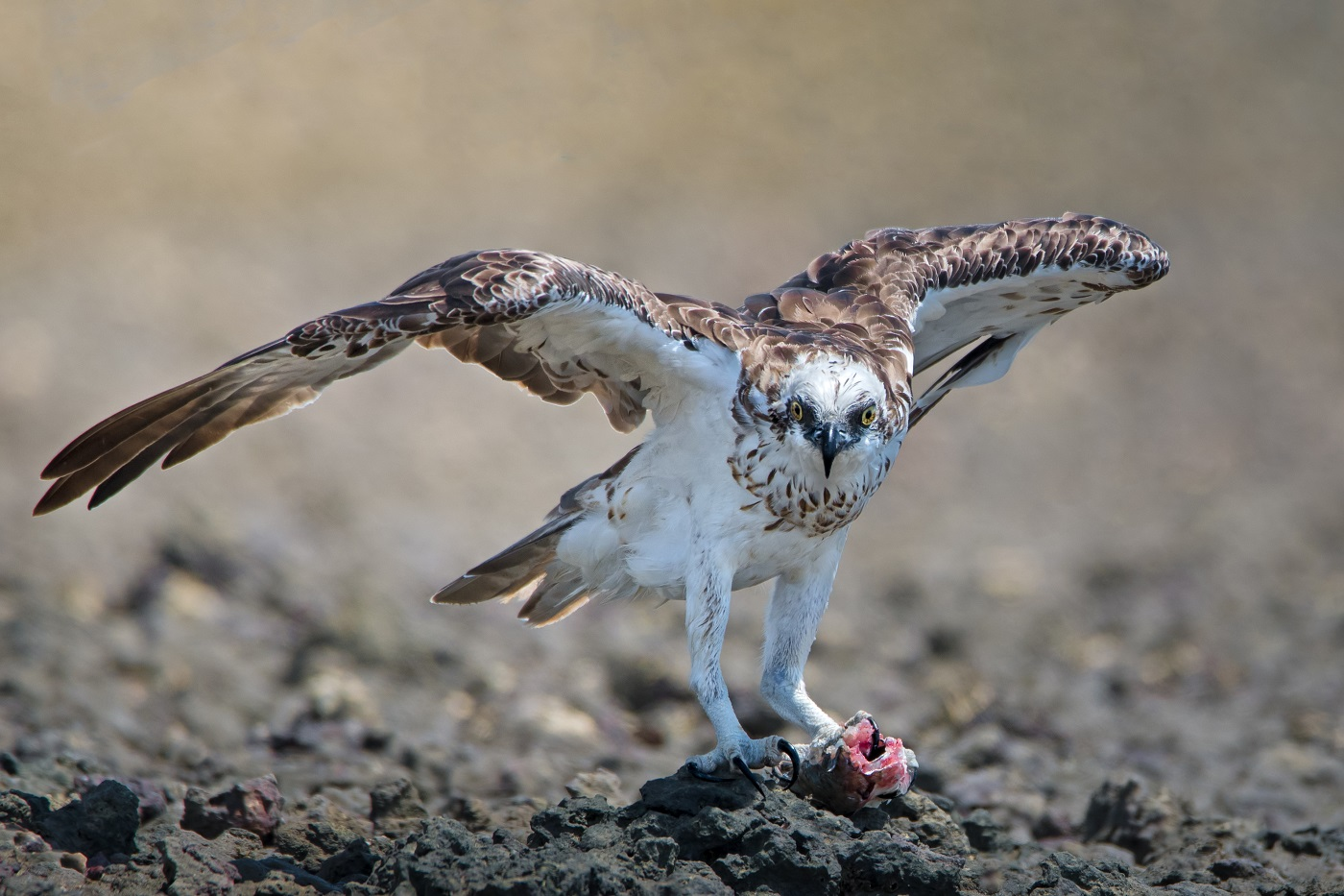 Osprey (Image ID 33072)