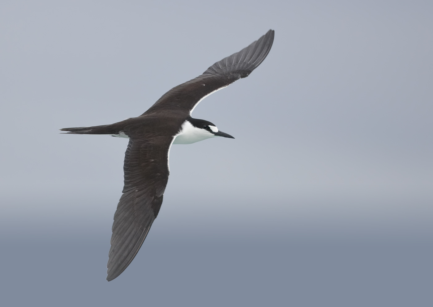 Sooty Tern (Image ID 33249)