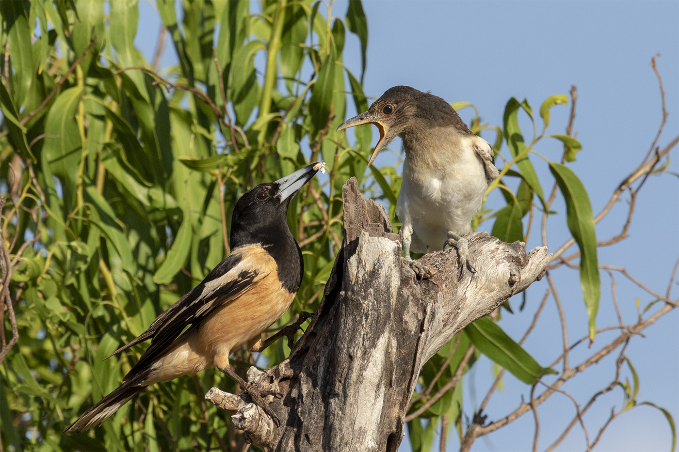 Pied Butcherbird (Image ID 32922)