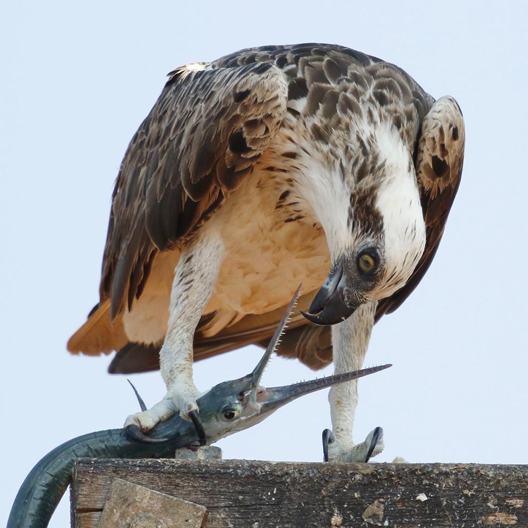 Osprey (Image ID 32924)