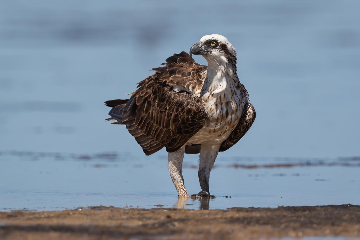 Osprey (Image ID 33209)