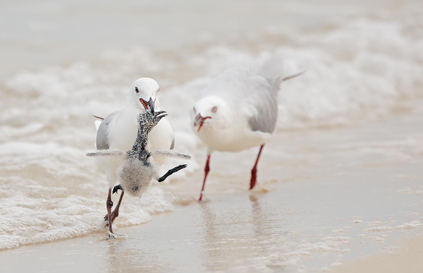 Common Noddy, Silver Gull