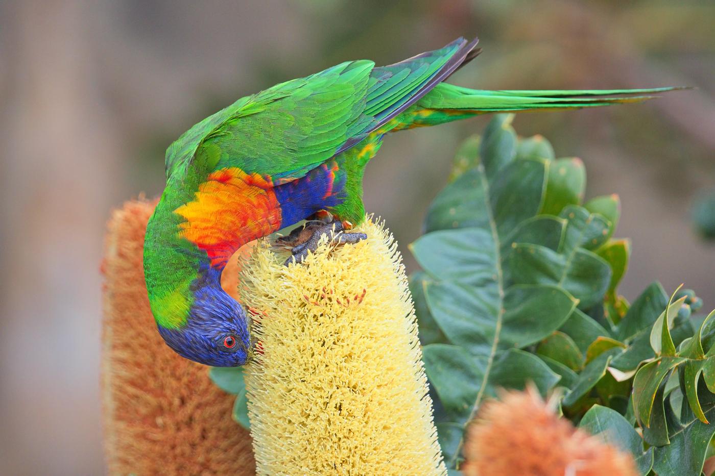 Rainbow Lorikeet (Image ID 33089)