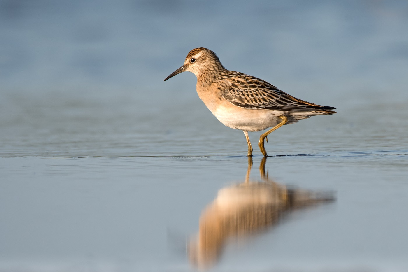 Sharp-tailed Sandpiper (Image ID 33232)