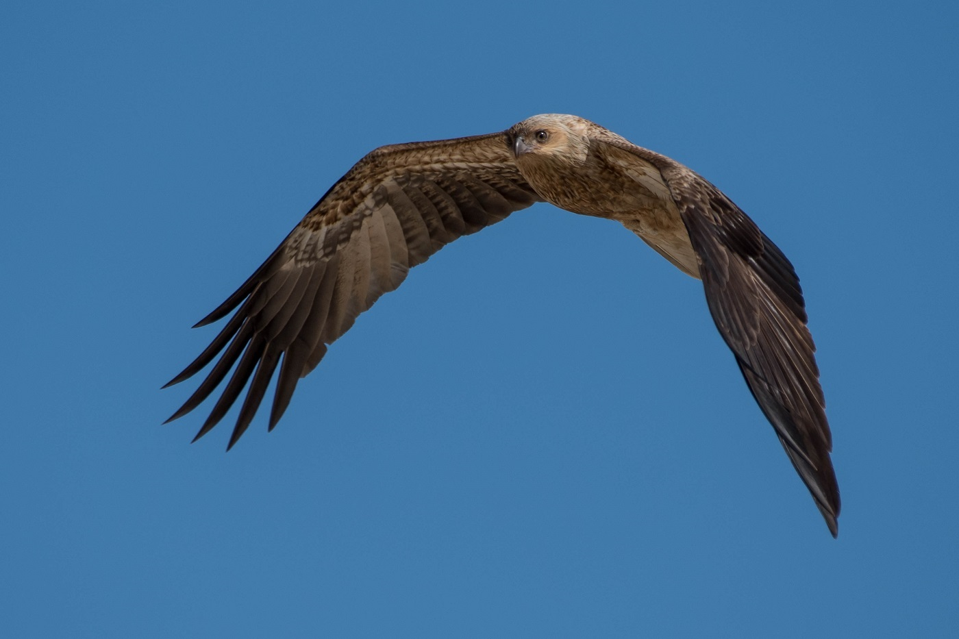 Whistling Kite (Image ID 33196)