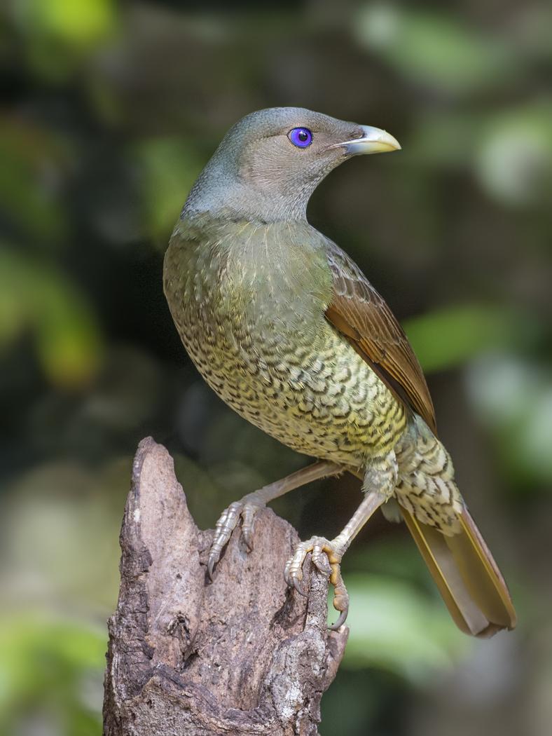 Satin Bowerbird (Image ID 33202)