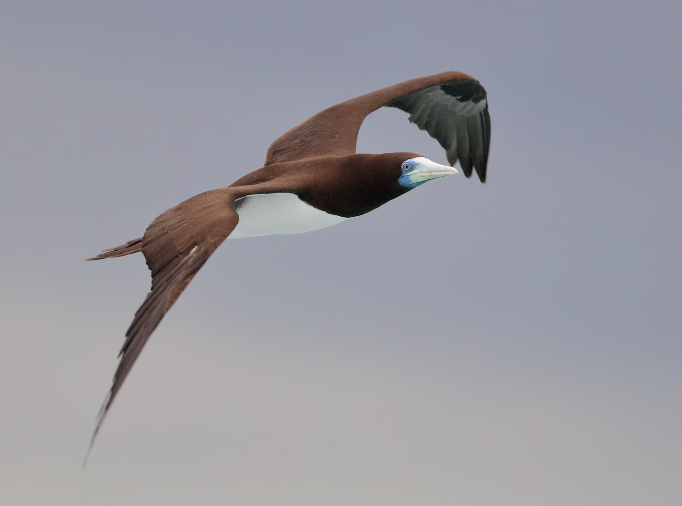Brown Booby (Image ID 33101)