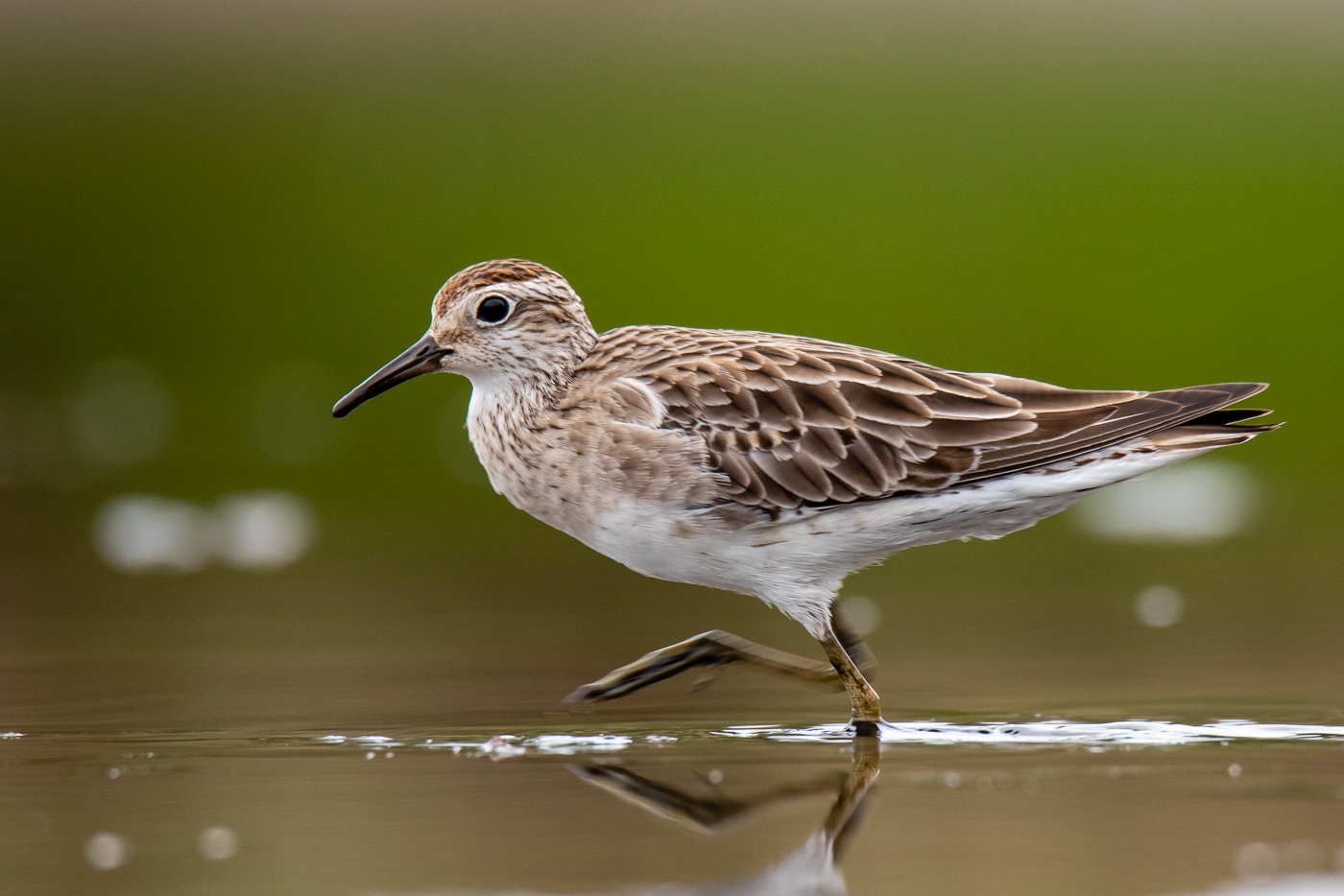 Sharp-tailed Sandpiper (Image ID 33159)