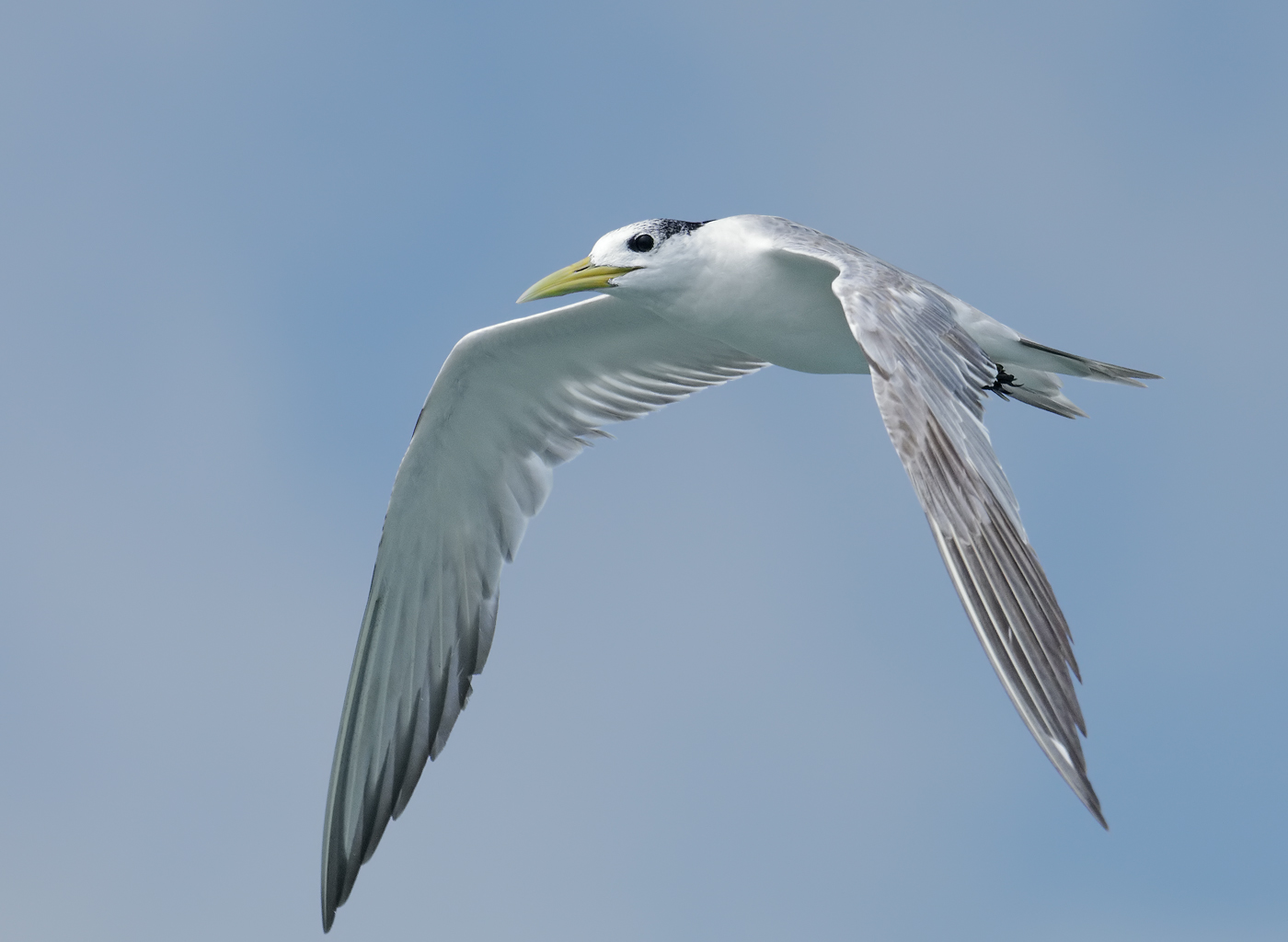 Crested Tern (Image ID 33223)