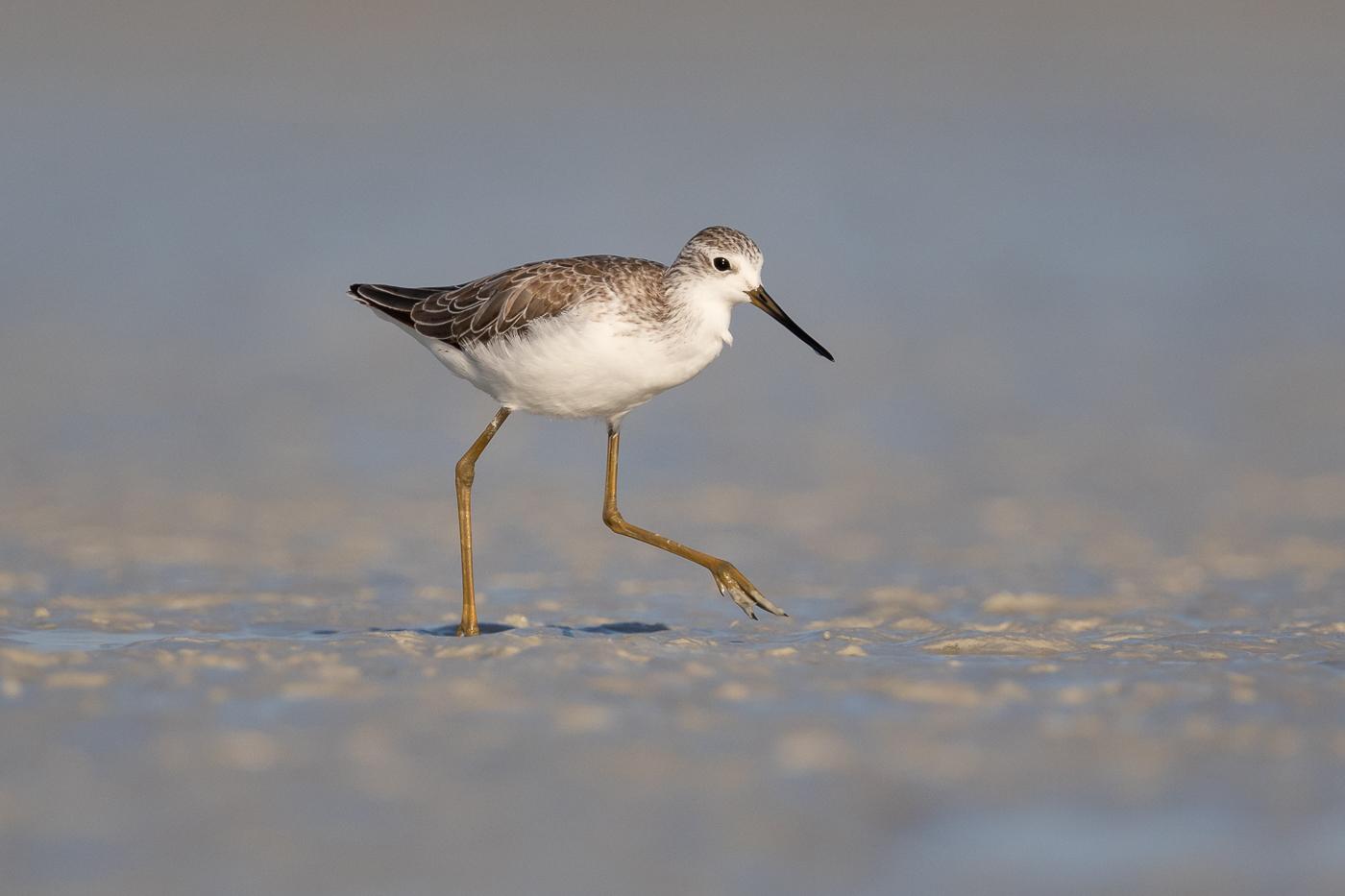 Marsh Sandpiper (Image ID 33152)