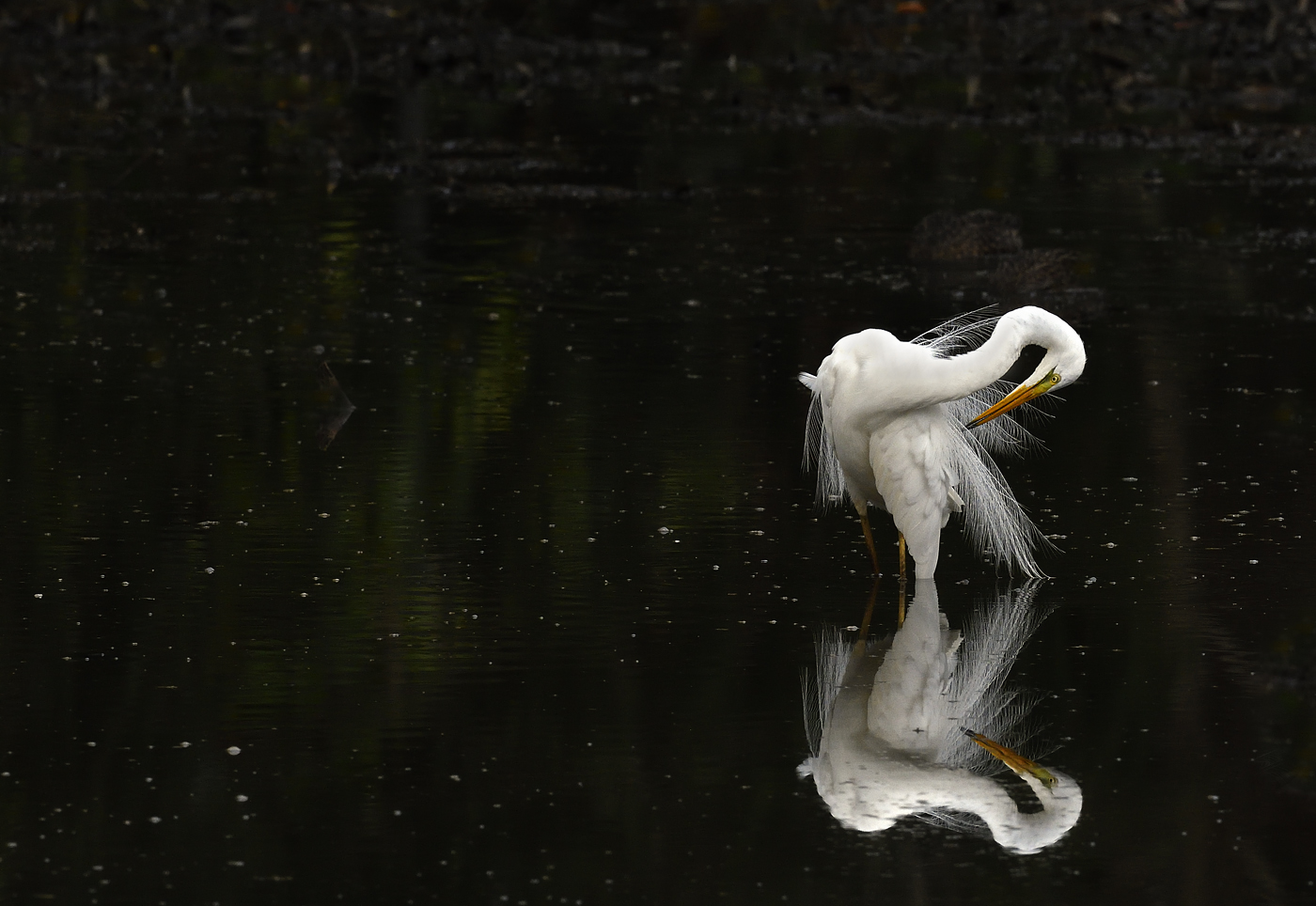 Great Egret (Image ID 32928)