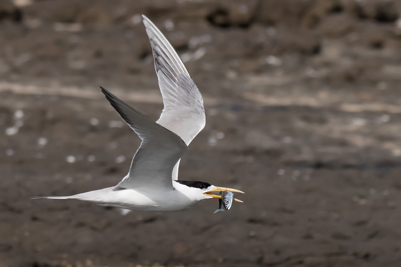 Crested Tern (Image ID 33067)